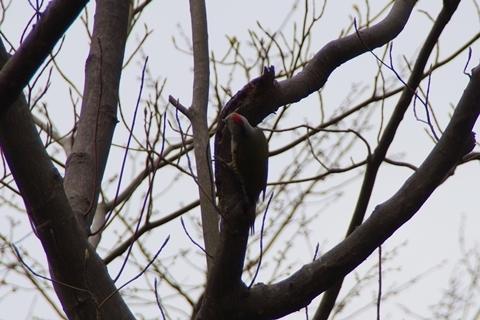 赤いモヒカン頭の鳥