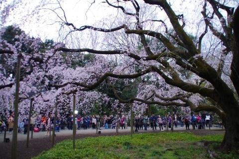 枝垂桜の枝張り
