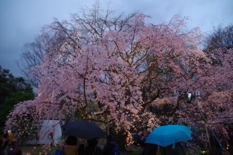 傘の花と枝垂桜.JPG