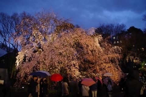 日没直後の枝垂桜