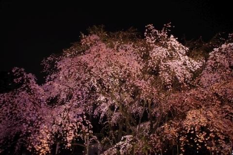 ライトアップされた枝垂桜2
