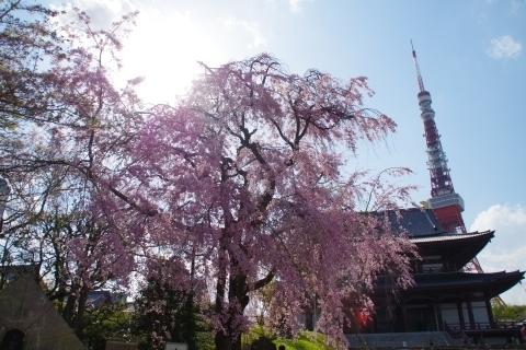 枝垂桜と東京タワー1
