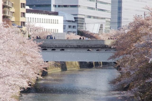 目黒川に舞う桜