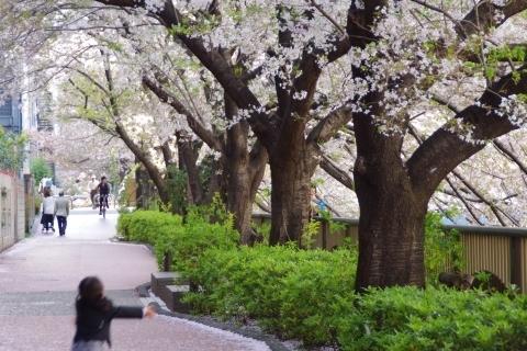 桜を追いかけて走り回る女の子