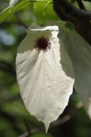 日に透けるハンカチノキの花