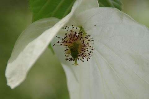 咲き終わりのハンカチノキ