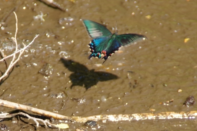 飛ぶカラスアゲハ