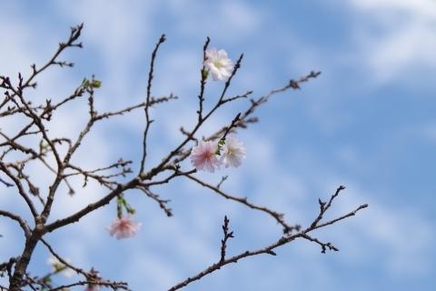 秋空と十月桜1