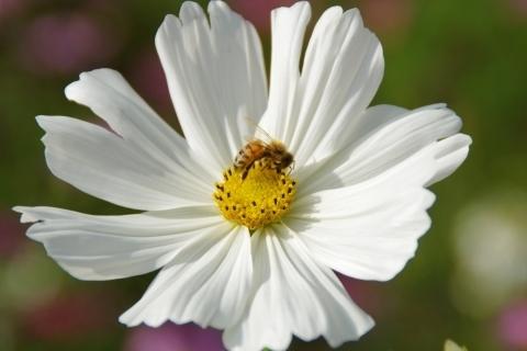 白いコスモスにミツバチ