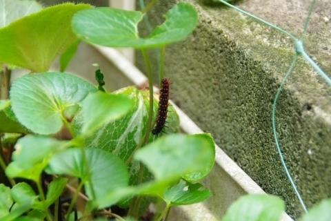 ツマグロヒョウモンの幼虫1