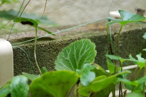 ツマグロヒョウモンの幼虫2