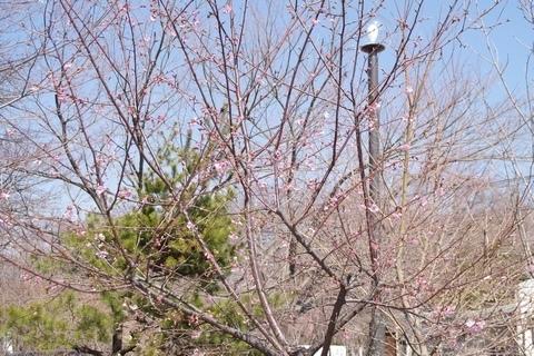 多聞院の桜