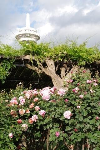 放送塔とバラ1
