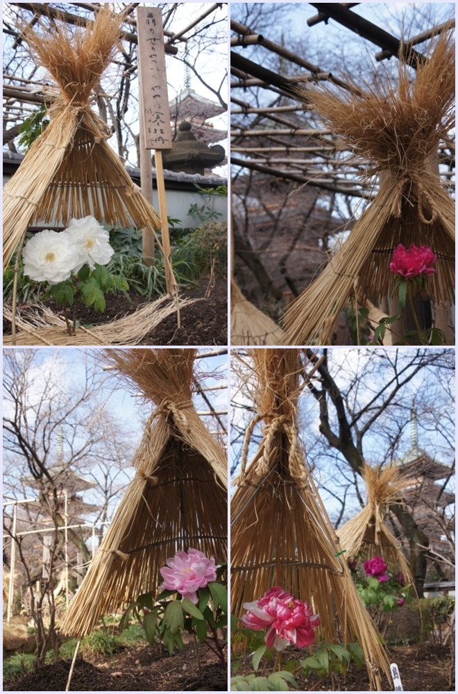 五重塔と冬牡丹