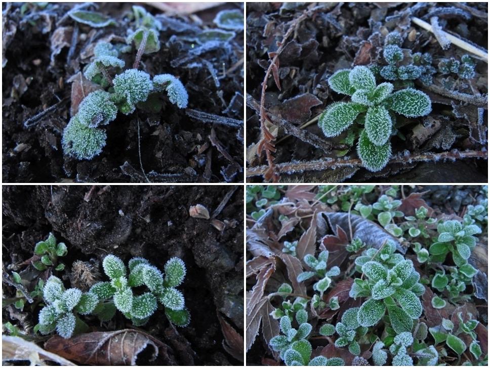 緑の葉に降りた霜