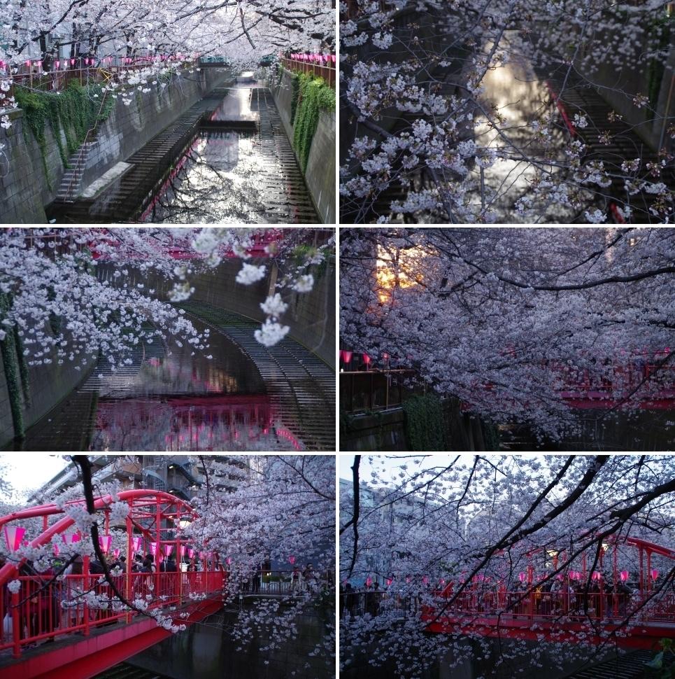 中目黒付近の桜