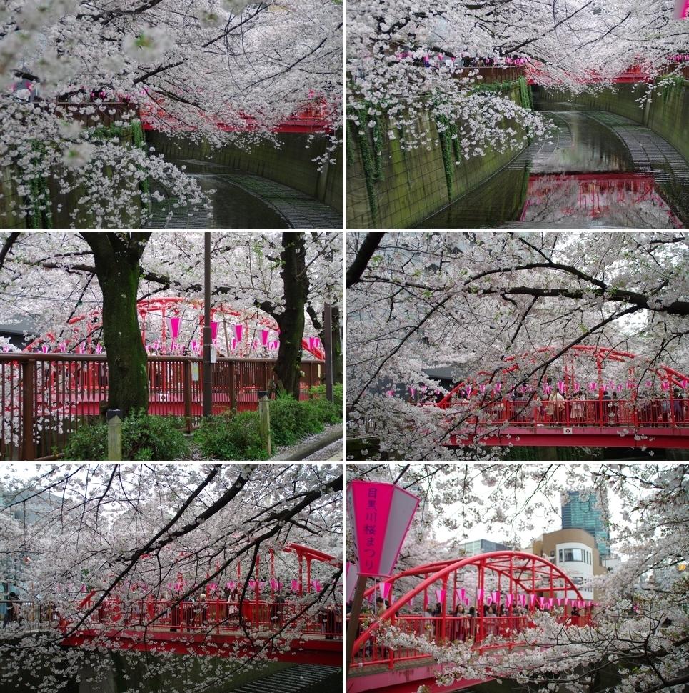 中の橋と桜