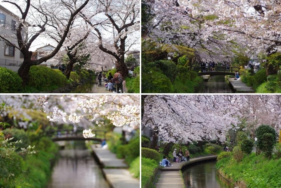 二ヶ領用水の桜1