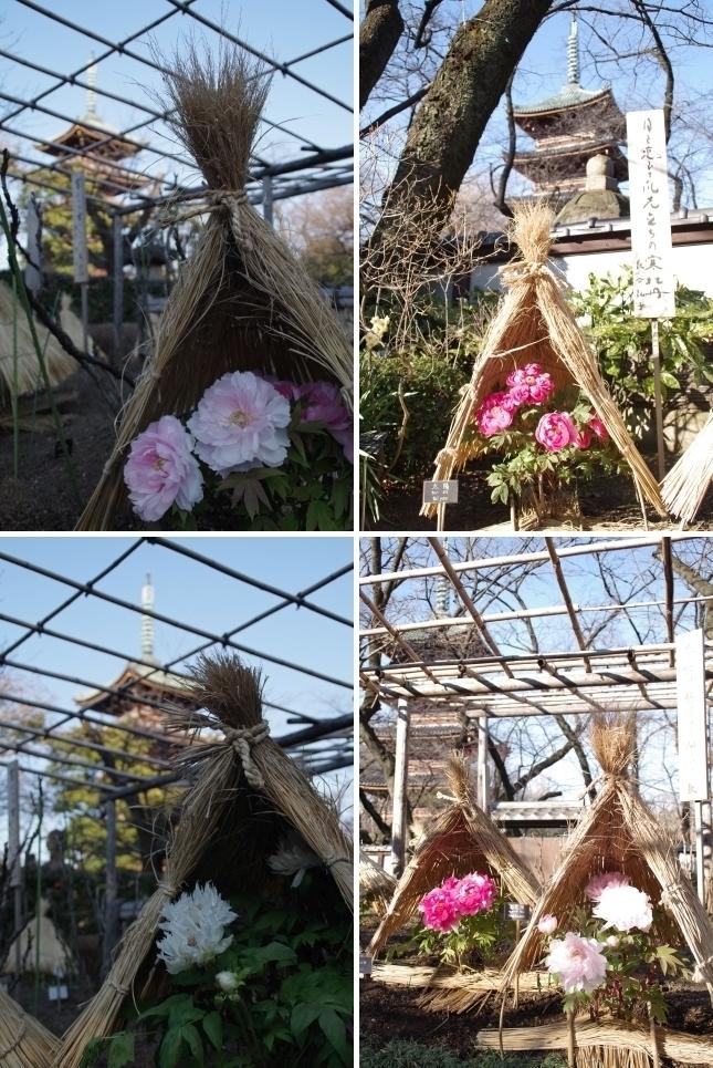 寒牡丹と五重塔1