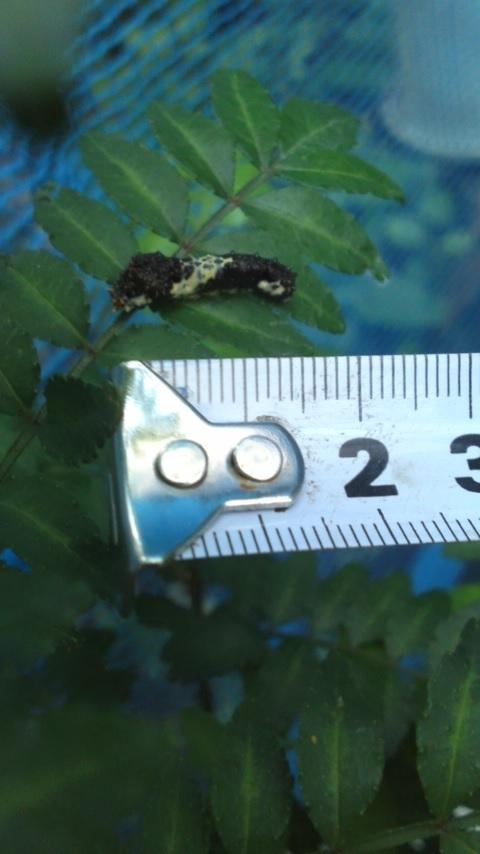 ナミアゲハの3齢幼虫