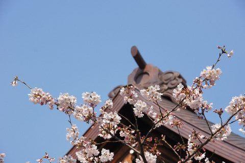 靖国神社・能楽堂とサクラ