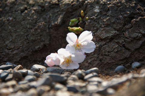 地面すれすれに咲く桜