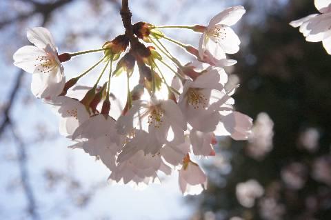 桜から漏れる日差し