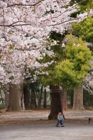 咲き誇る桜の下に