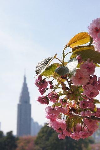 梅護寺数珠掛桜とDocomoタワー