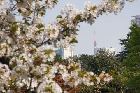 山桜と東京タワー