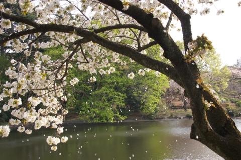 太白の桜吹雪