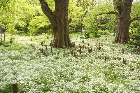 白い絨毯に包まれたラクウショウの森