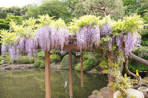 新宿御苑・藤