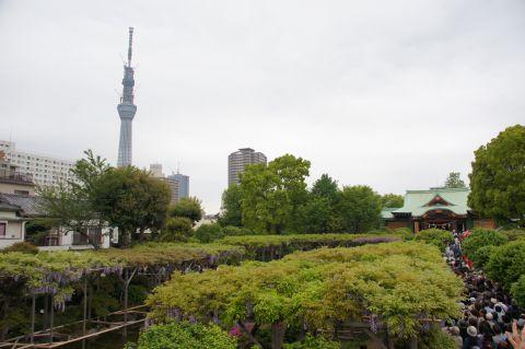 亀戸天神の藤棚と東京スカイツリー