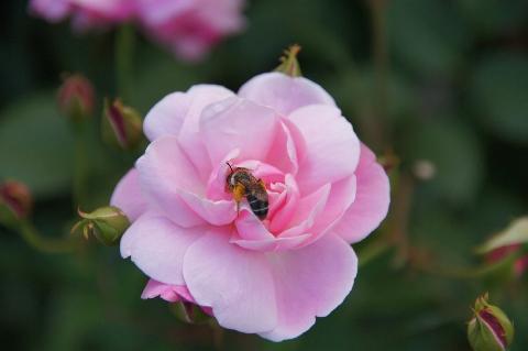 コウシンバラにミツバチ