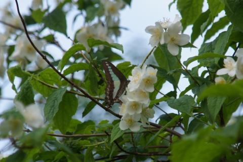 バイカウツギの蜜を吸うアオスジアゲハ