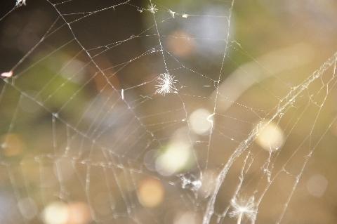 蜘蛛の巣に捕まった綿毛