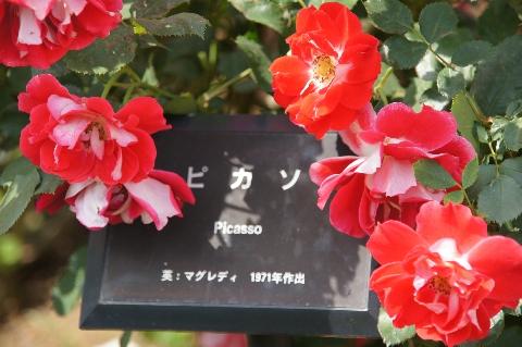 薔薇・ピカソ