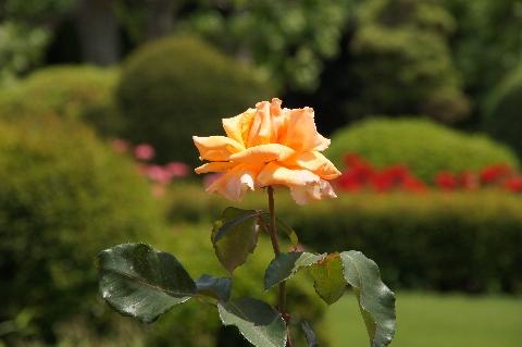 オレンジ色がきれいなジャスト・ジョーイ