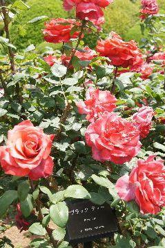 薔薇・ブラックティー