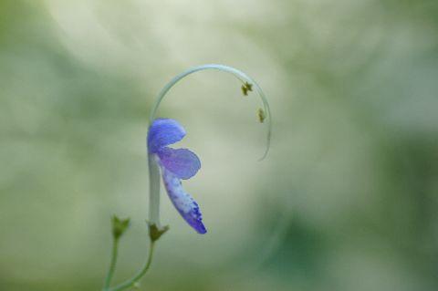 カリガネソウの花・側面