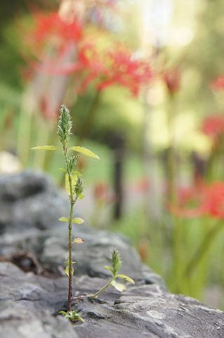ヒガンバナと力強い芽