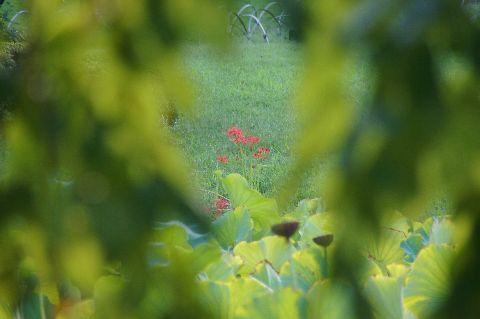 葉の奥のヒガンバナ