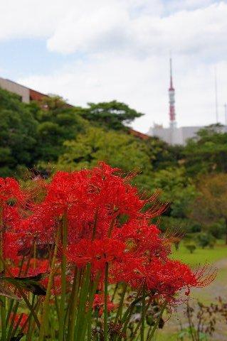 東京タワーとヒガンバナ