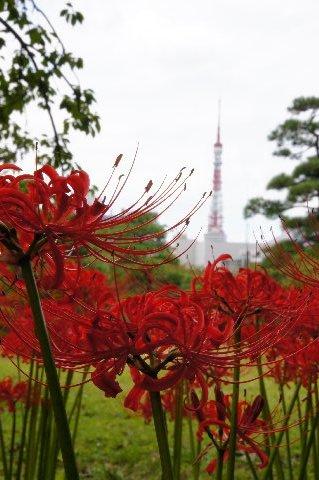 東京タワーと彼岸花