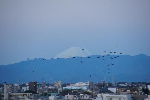カワウ横切る日の出直前の富士山