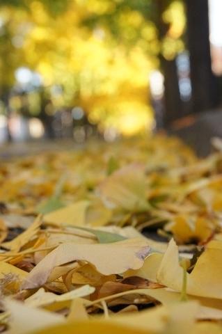 落ち葉の目線でイチョウ並木