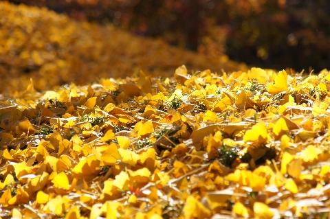 降り積もったイチョウの葉