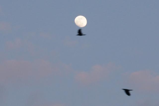 カラスとニアミス・小望月