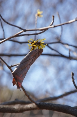 枯葉をつけたままのシナマンサク